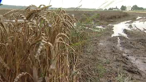 Deště ničí obiloviny