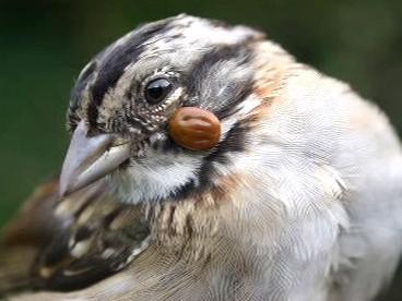 Pták s parazitem