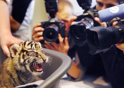 Tygří mládě Daseep