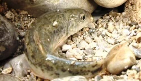 Ryba v prázdném korytu řeky Išky