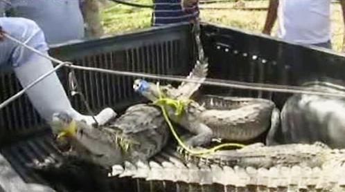 Krokodýl Moreletův