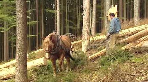 Stahování dřeva koňmi