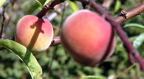 Ovoce se letos mnoho neurodilo