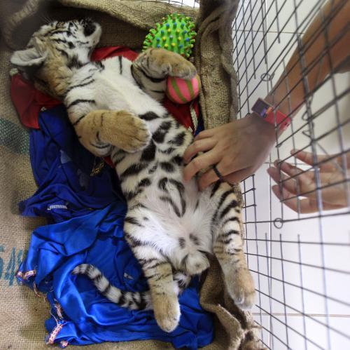 Tygr zabavený na letišti v Bangkoku