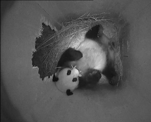 Panda Yang Yang drží v tlamě své mládě