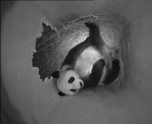 Panda Yang Yang se svým mládětem v náručí