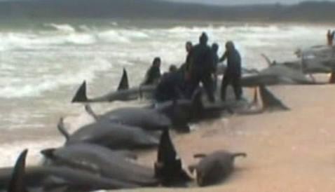 Velryby uvízlé na pláži