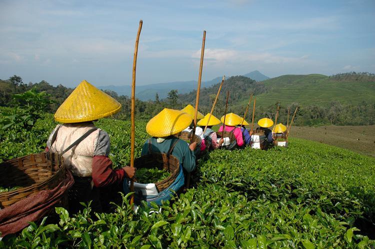 Plantáž čajovníku