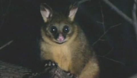Kusu liščí je postrachem australských farmářů