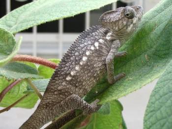 Chameleon obrovský