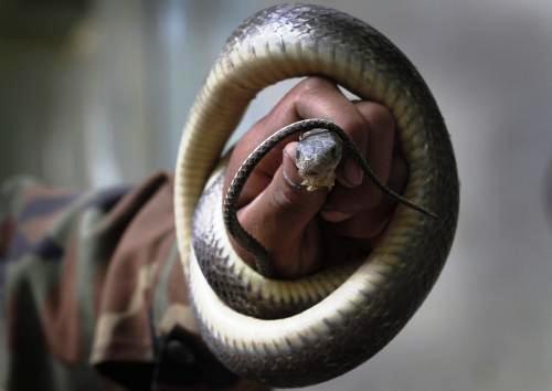 Získávání hadího jedu