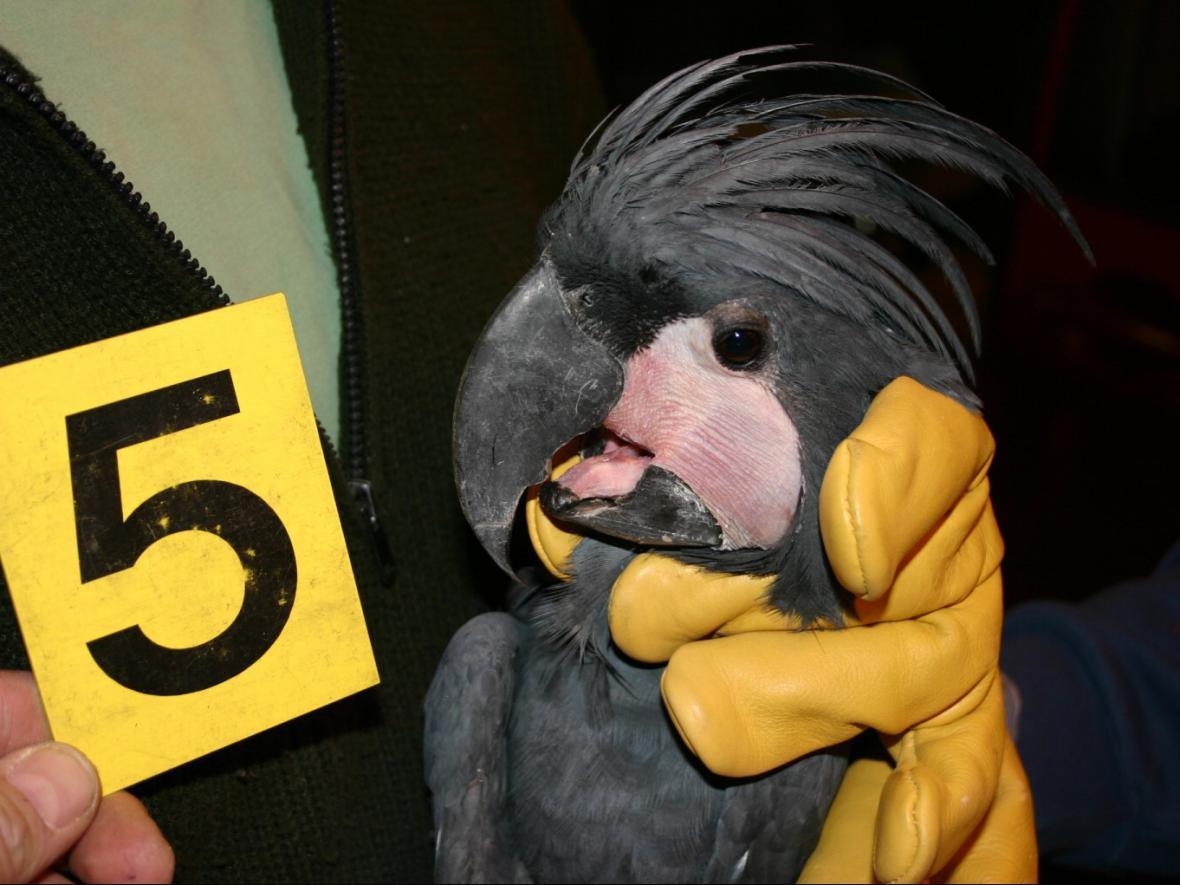 Papoušek Kakadu palmový, zadržený celníky