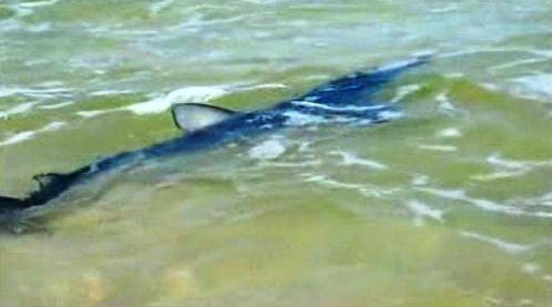 Žralok u pobřeží New Jersey