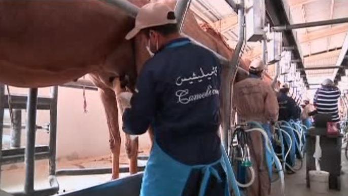 Výroba velbloudího mléka