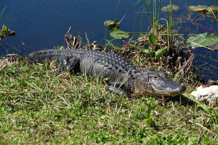 Aligator ve floridském parku Everglades