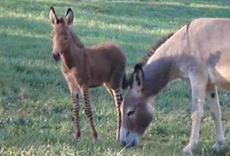 Kříženec osla a zebry se svou matkou
