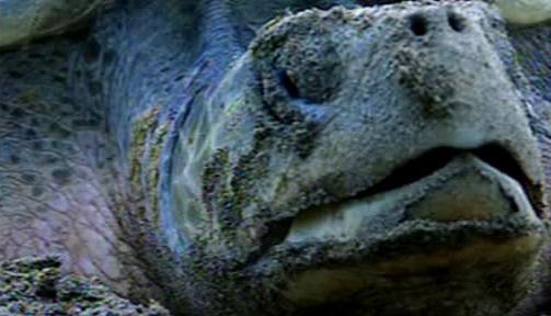Následky kontaktu želvy s ropnou skvrnou