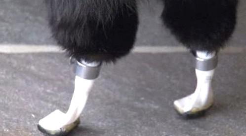 Britský kocou Oscar ma na obou zadních nohách protézy