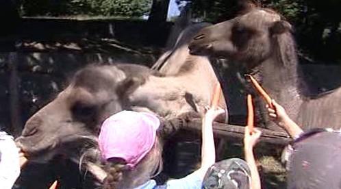 Děti krmí velbloudy