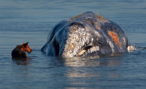 Na pláži v americkém Everetu uvízla velryba