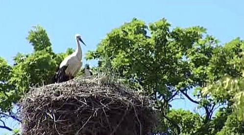 Čáp bílý na hnízdě
