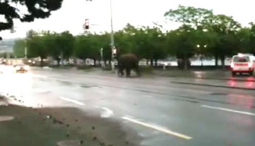 Uprchlý slon v ulicích Curychu