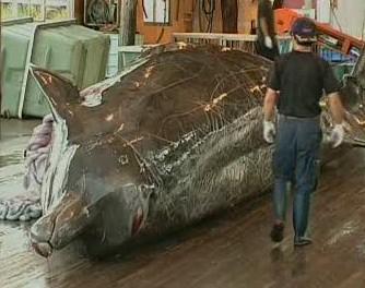 Ulovená velryba