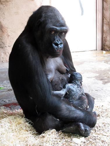 Gorila Kijivu se svým třetím mládětem