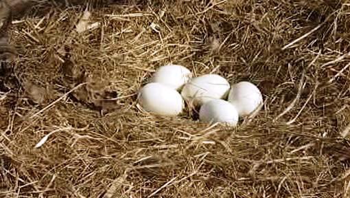 Čapí vejce