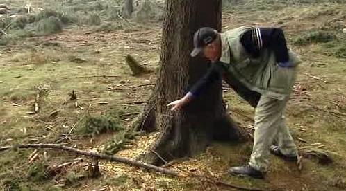 Majitel prohlíží naříznutý strom