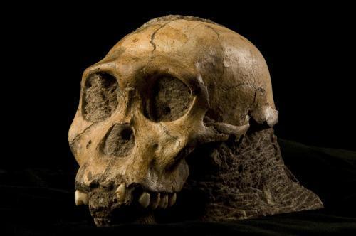 Lebka australopiteka sediba