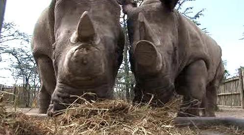 Nosorožci bílí v Keni