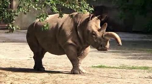 Nosorožec bílý ze ZOO Dvůr Králové
