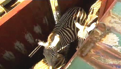 Keňští ochránci přírody stěhují zebry do národního parku Amboselli.