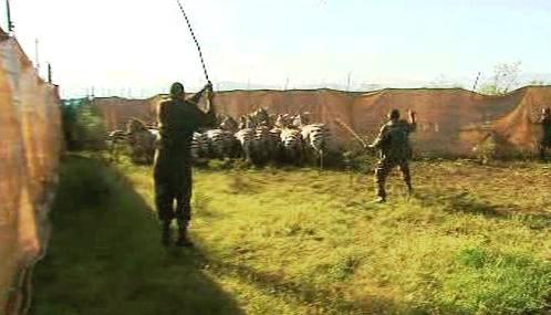 Stěhování zeber v Keni