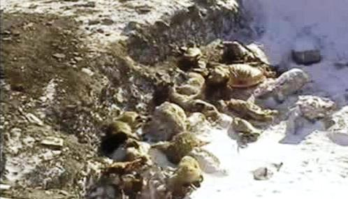 Uhynulá zvířata v Mongolsku