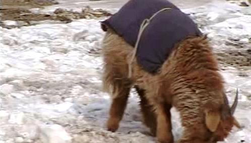 Mongolská stáda ohrožují mrazy