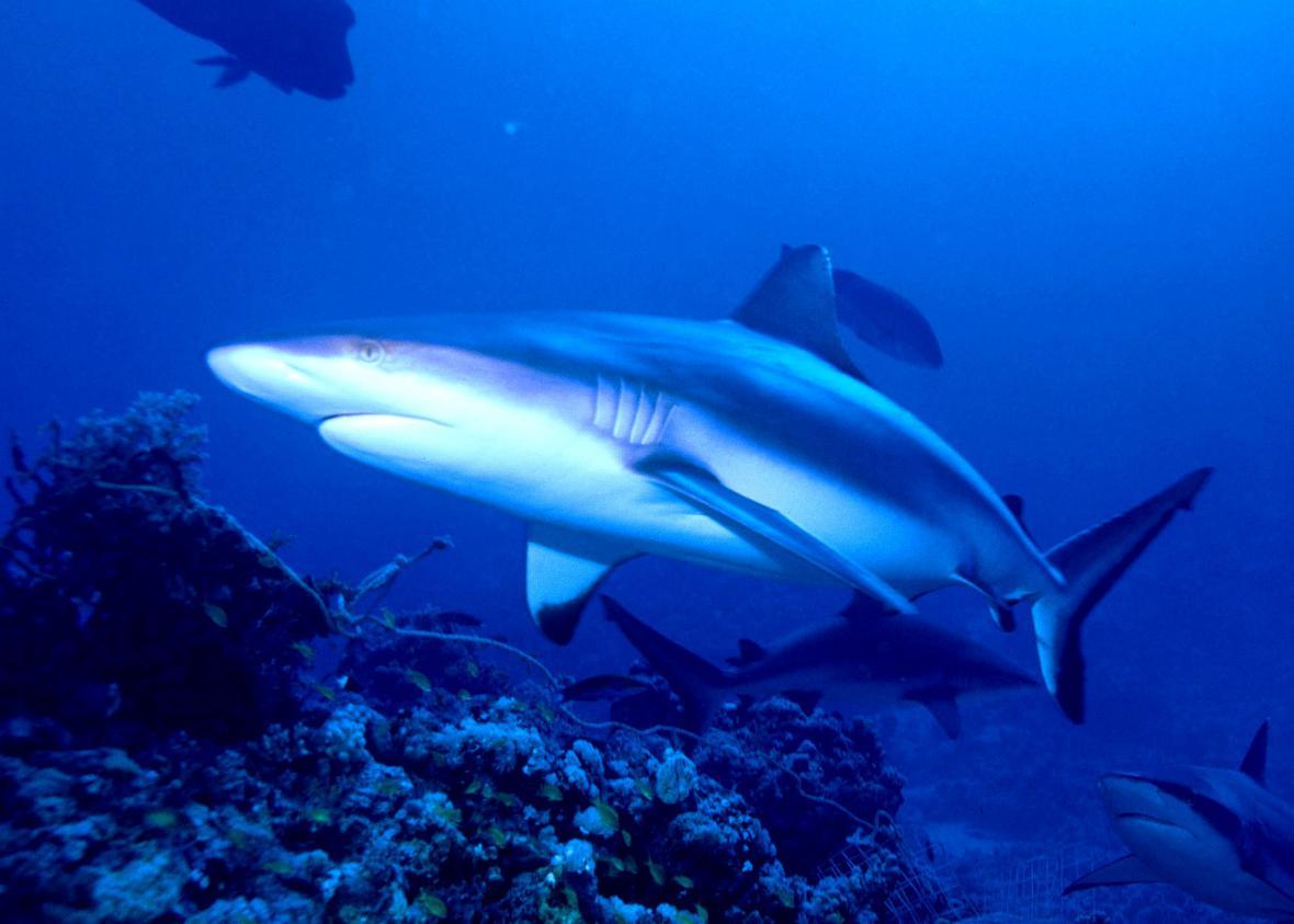Žralok u korálového útesu