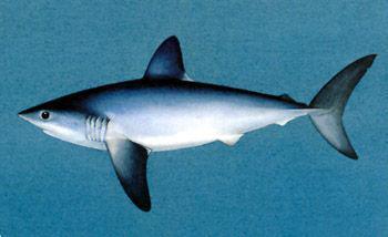 Žralok sleďový
