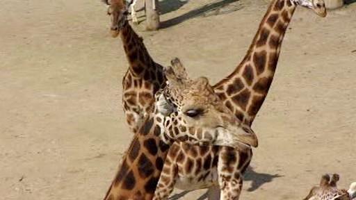 Žirafy v pražské zoo