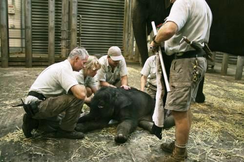 Slůně narozené v australské zoo Taronga