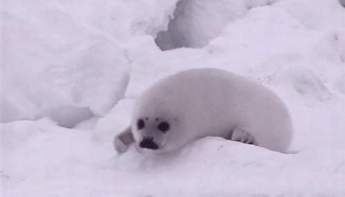 Tulení mládě