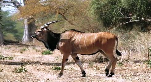 Antilopa Derbyho