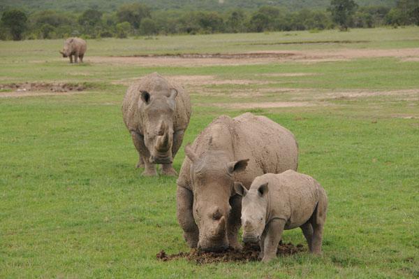 Rodina bílých jižních nosorožců v Ol Pejetě