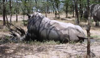 Bílí severní nosorožci v Ol Pejetě