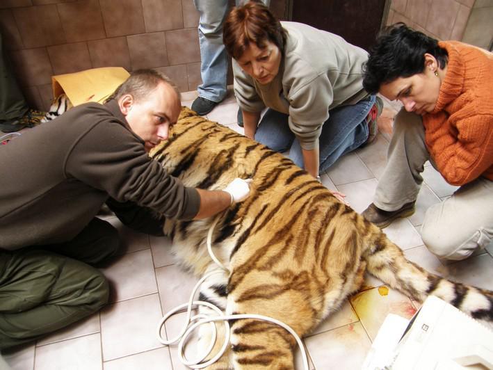 Nemocný tygr Semjon