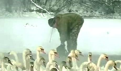 Záchrana labutí z ledu