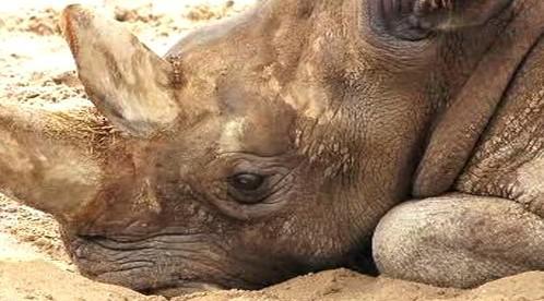 Odpočívající nosorožec bílý