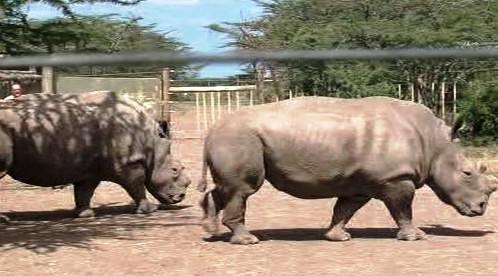 Nosorožci v Keni