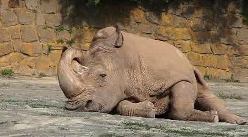 Spokojený nosorožec bílý